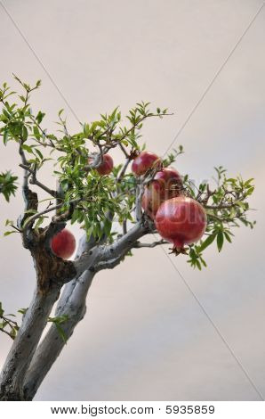 Pomegranates on branches.
