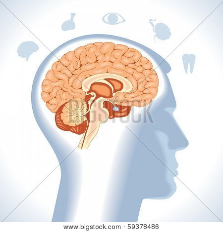 Pituitary. Modern medical infographics. Internal organs in a human body. Anatomy of people