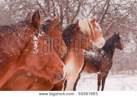 Five horses in a blizzard, all looking to the same direction away from the viewer, focus on the nearest horse