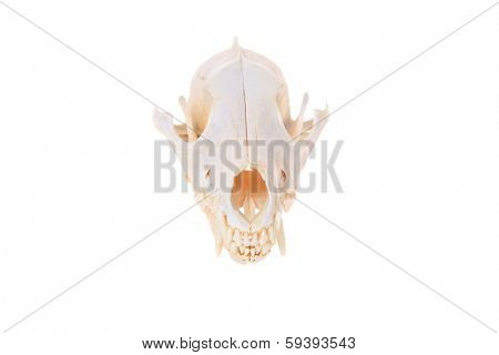 Various views of a Genuine Skull of a Coyote AKA Canis Latrans isolated on a white with room for your text. Coyotes are an important animal in the eco system and help keep rodents from over populating
