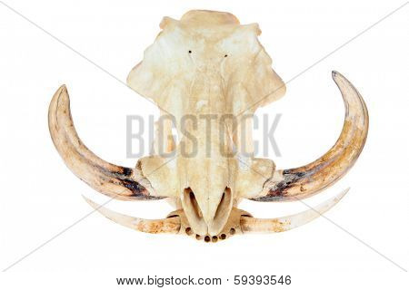 A Genuine African Wart Hog AKA  phacochoerus africanus  skull isolated on a white with room for your text. Wart Hogs are an important species and part of our eco system.