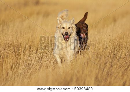 Dogs Running At Golden Hour