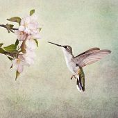 Ruby-throated Hummingbird hovering next to apple blossoms, on textured background