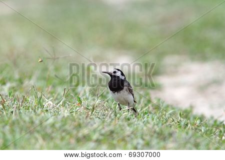 Motacilla Alba On Ground