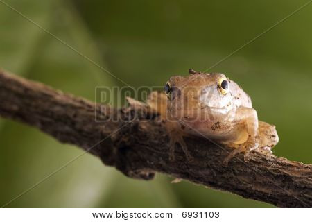 Closeup Frog with green background