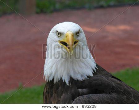 Bald Eagle Head Close Up