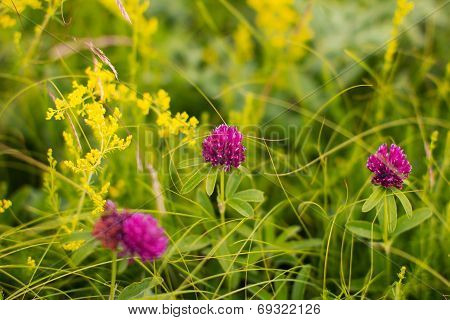 Red Flowers Of A Clover (trifolium Repens)