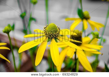 Rudbeckia Laciniata Flower