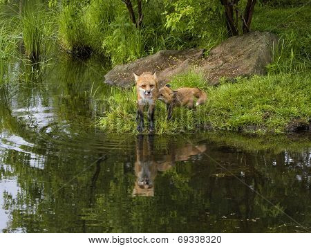 Red Fox and Kit at Lake with Reflection