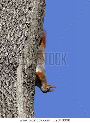 Red Squirrel Play On Tree