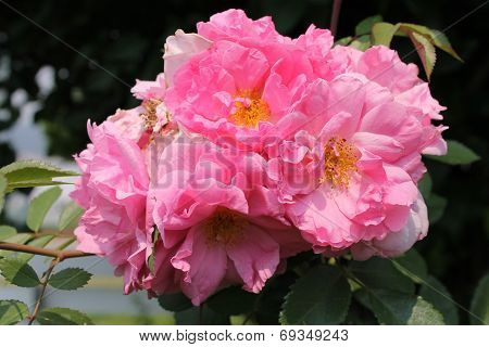 Medium double pinks blossoms