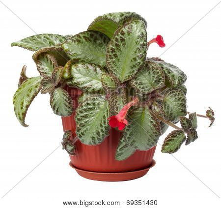 The houseplant Koleriya