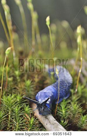 Carpathian Blue Slug (bielzia Coerulans)