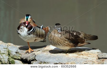 Male and female mandarin ducks, aix galericulata