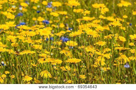 Yellow Blooming Corn Marigold Plants