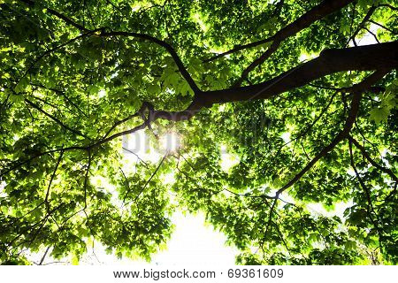 Silhouette Of Green Maple Tree