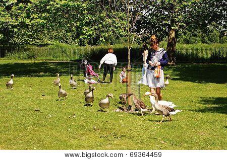 Woman feeding Canada geese, Oxford.