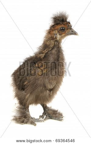 Funny Chinese Silkie Baby Chicken Isolated on White Background