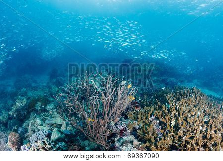 School Of Sardines Swim Over A Tropical Coral Reef On A Dark Afternoon