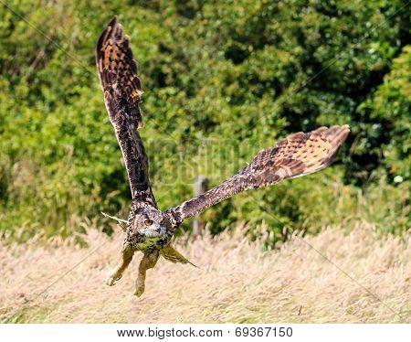 Low Flying Eagle Owl