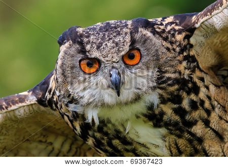 Close Up Of An Eagle Owl In Flight