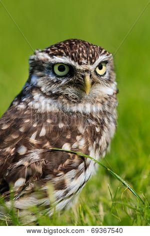 Owl In A Field