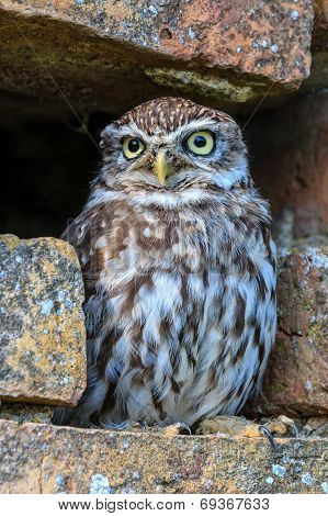 Little Owl In A Hole In A Wall
