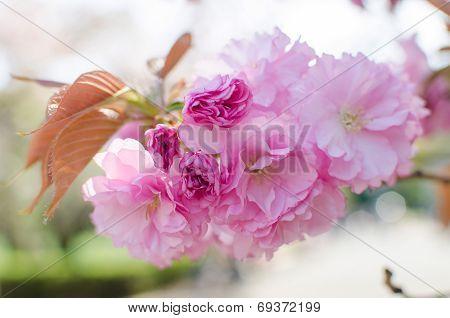 Cherry Blossoms Flower , Sakura
