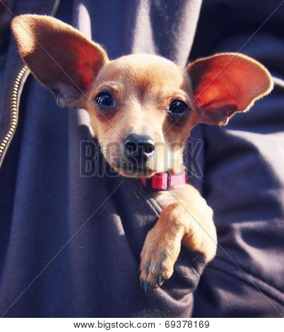 a tiny chihuahua in a pocket of a sweatshirt