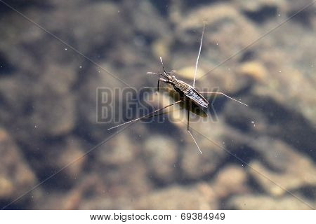 Common Water Strider