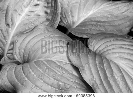 Hosta Leaves Close Up