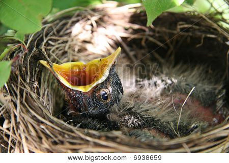 Baby Robin In Birds Nest With Mouth Open
