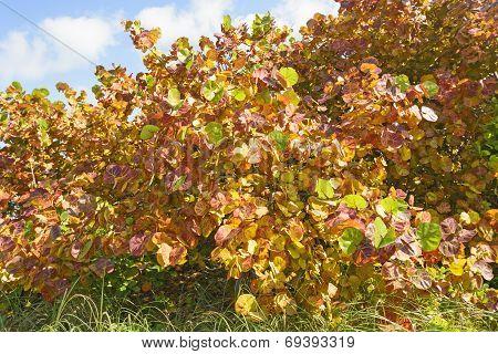 Sea Grape In Winter Colors