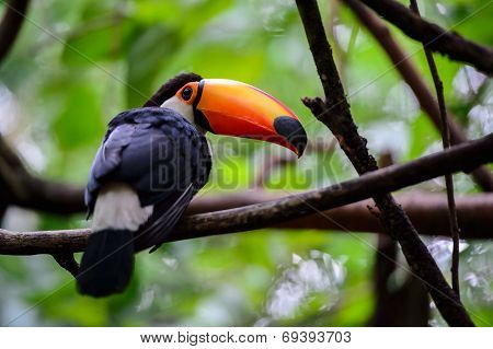 Toucan, National park Iguazu, Brazil