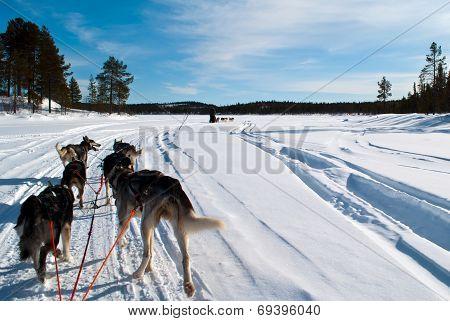 Huskies pulling sleds