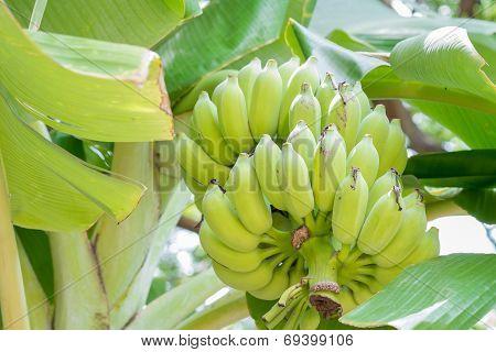 Banana On The Tree