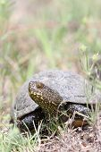 foto of terrapin turtle  - emys orbicularis portrait of european pond turtle female
