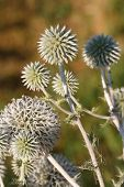 stock photo of spiky plants  - Echinops plants close up horizontal outdoors - JPG
