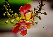 pic of cannonball-flower  - Sal Tree Sal of India Couroupita guianensis Aubl - JPG