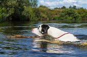 picture of harlequin  - Big harlequin great dane dog swimming in the river - JPG