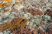 image of caribou  - Arctic vegetation on Greenland in summer with lichen moss dwarf birch and other plants - JPG
