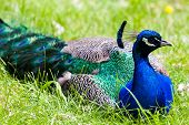 picture of peahen  - A peacock resting in the wild with focus on its head and its blue crest - JPG