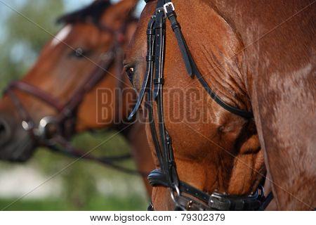 Chestnut Sport Horse Portrait During Riding
