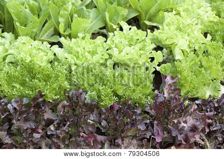 Hydroponic Vegetable With The Nature