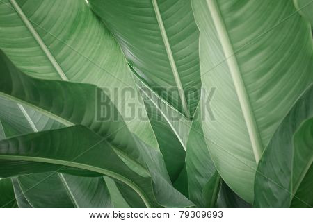 Leaf Of Banana
