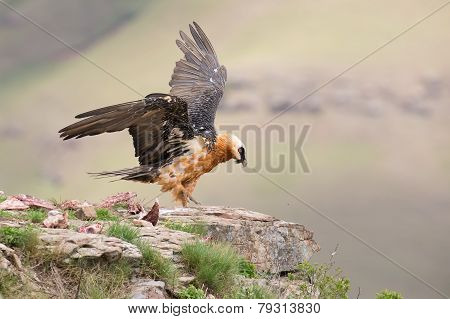 Dult Bearded Vulture Landing On Rock Ledge Where Bones Are Available