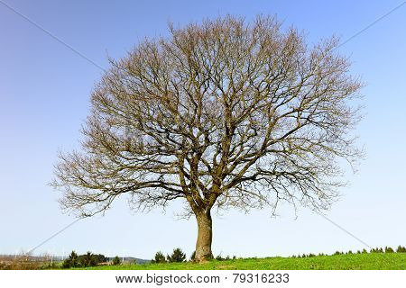 Lonely Oak Teree