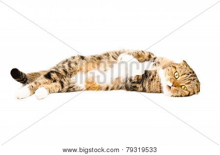 Adorable Scottish Fold cat