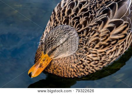 Female Duck Relaxing