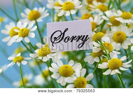 Sorry card with chamomile flowers on blue background